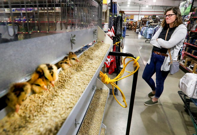 Katy Cox buys chicks at the IFA Country Stores in Riverton, Utah, Thursday, March 26, 2020. The agricultural sector is seeing a run on supplies including chicken feed, horse feed, dog food and a higher interest for chicks. (Steve Griffin/The Deseret News via AP)