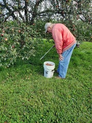 Bob picking up apples last fall with his grabber.