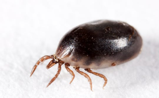 An engorged blacklegged tick, also known as a deer tick.