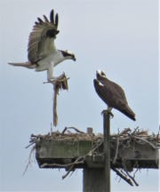 After wintering in South America, a pair of ospreys is back on a man-made nesting platform along the Chemung River in Elmira.