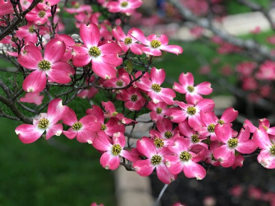 "This pink dogwood tree was spotted during a walk in Saddlebrooke Subdivision in Halls on April 6, 2020. The name dogwood comes from the word ""dog-tree,"" which was introduced into English in 1548."