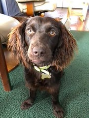 Kim Greene's 10-month-old Boykin spaniel, Taz, brings some joy and laughter amid the coronavirus outbreak.