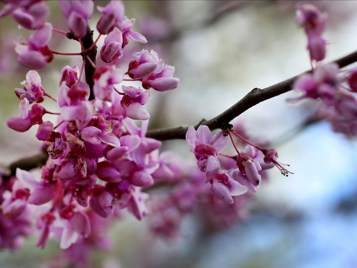 The Redbud trees are all in bloom all over Middle Tennessee, on Monday April 6, 2020.