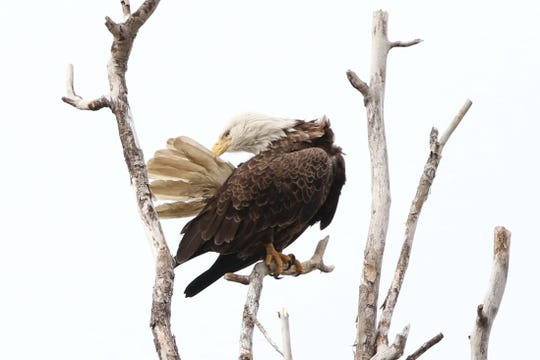 A bald eagle adjusts his tail feathers while perched atop a branch at the Magee Marsh Wildlife Area.