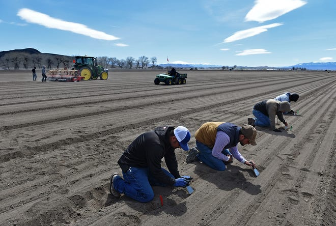 A team of H-2A workers check if the tractor planter is planting the seeds at the proper depth on a Peri & Sons Farms in Yerington on March 30, 2020. The seeds need to be at right depth so the wind will not blow them away, or that they are not planted too deep to ensure good growth.