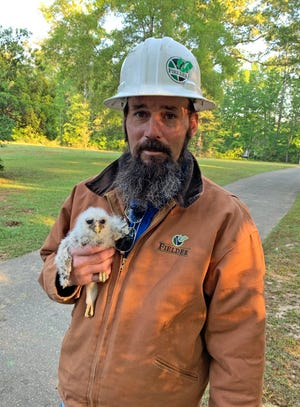 Franklin Adcock, Operations Manager with Fielders Tree Service, holds one of the baby barred owls he found in a snag his crew cut down. .