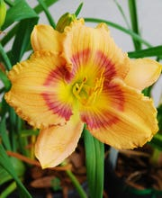 "Daylily or Hemerocallis spp. are beautiful lilies propagated from rhizomes. Traditionally, daylilies, such as the variety 'Winds of Tide' pictured,  have not been successful in South Florida; however, there are a few tropical selections which grow well in Treasure Coast gardens. Look for those varieties with the word ""Tropical"" in the name. Choose an area with full sun to partial shade and plant 12-18 inches apart. Daylilies bloom in the spring & summer with a wide variety of colors. Daylilies prefer regular irrigation, but need well-drained soil - no wet feet for these babies."