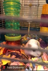 Valentine the hamster makes an appearance on a class Zoom meeting.