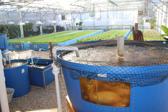 An aquaponic system creates a symbiotic relationship between the fish, plants, and beneficial bacteria.