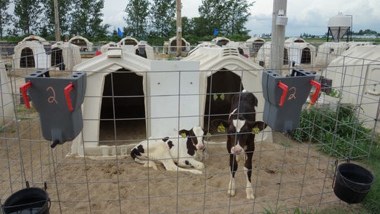 Calves can be raised successfully in pairs using connected hutches, as in recent research studies at the UW-Madison Blaine Dairy.