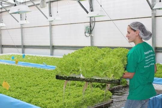 Aquaponics, a process which allows producers to raise and grow a protein and vegetable crop simultaneously, has recently seen an increase in popularity.
