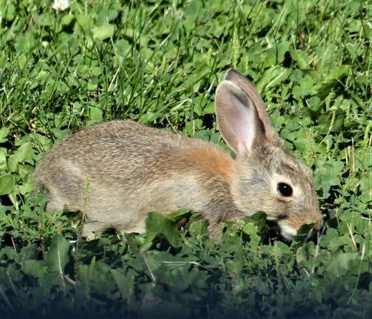 Wild and domestic rabbits are vulnerable.