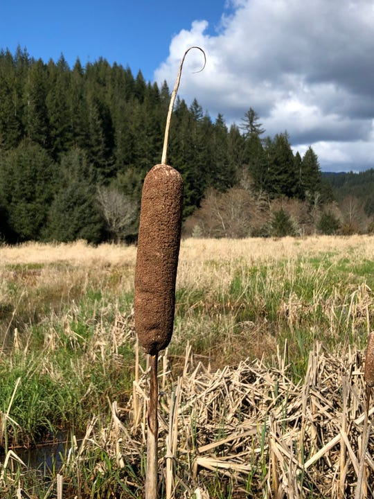 Cattail plant in Enchanted Valley