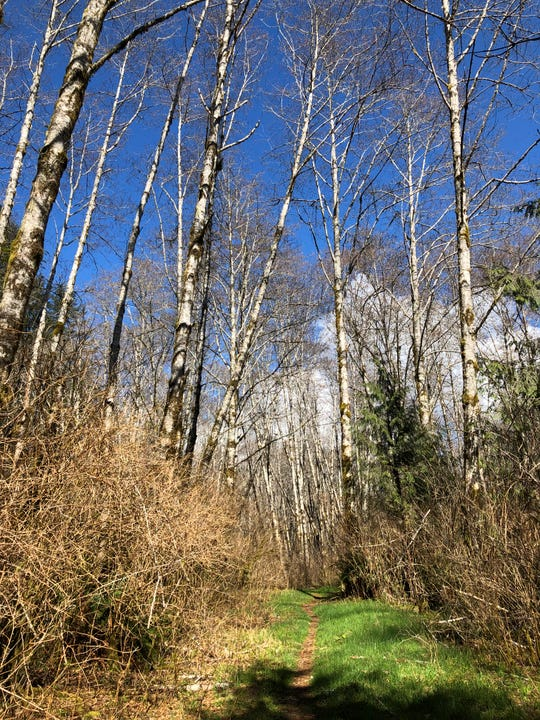 Alder trees in the Enchanted Valley
