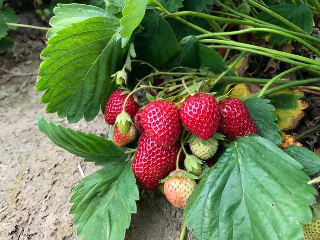 Start strawberry seeds now if you'd like to grow plants this fall.