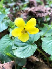 A yellow wood violet in the Enchanted Valley