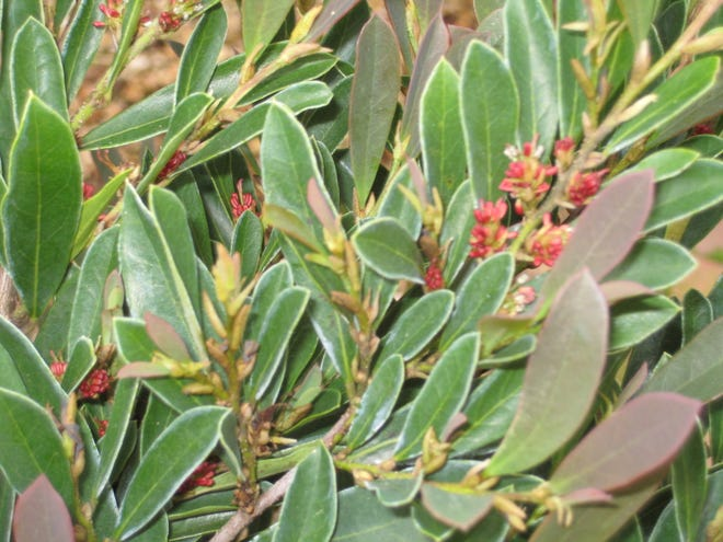 Spring flowers on the Cinnamon Girl Distylium variety.