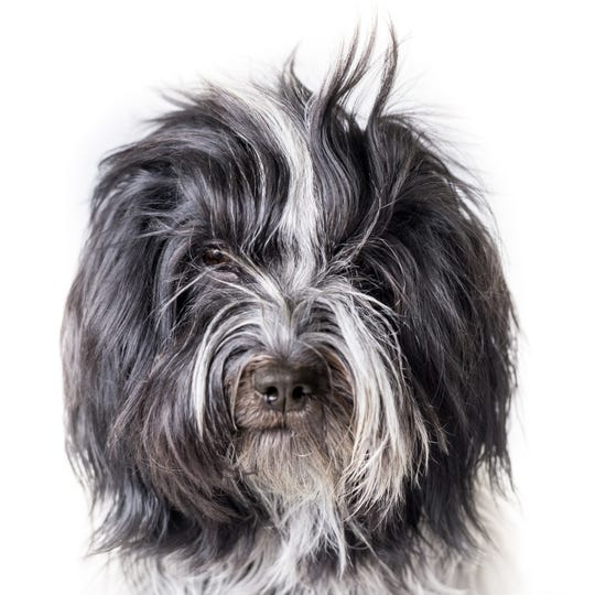 Usually you cannot see the eyes on a Schapendoes, but with the wispy bangs combed straight up you can see those lovely eyes. Dog owners can do some basic grooming, such as washing and nail trimming, but grooming is best left to the pros, says the AKC.