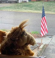 An ALF doll looking out a window on Bayberry Lane is part of the Coshocton County Bear Hunt group. A  Facebook page lists locations where the various stuffed animals are spotted.