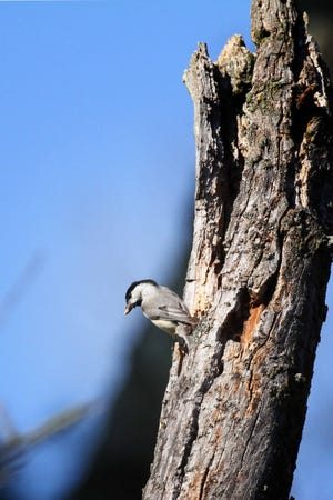 A broken off and now rotted back branch provides a natural cavity for nesting Carolina chickadees.