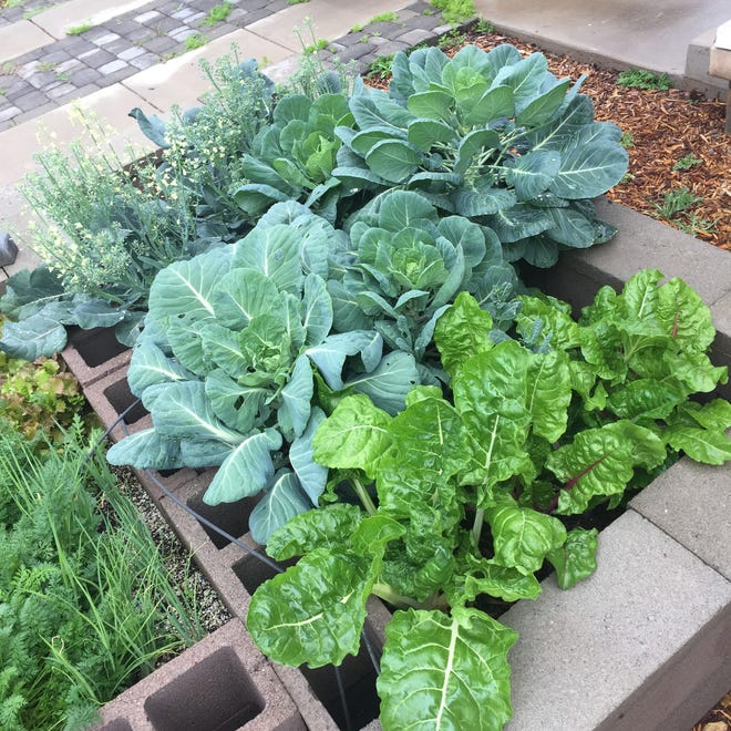 At his home garden, Willie Sommers uses compost to grow vegetables in raised garden beds. This bed has Swiss chard, Brussels sprouts and broccoli.