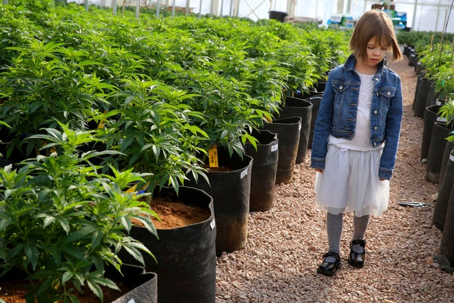 In this Feb. 7, 2014 photo, 7-year-old Charlotte Figi, whose parent describe her as once being severely and untreatably ill, walks around inside a greenhouse for a special strain of medical marijuana known as Charlotte's Web, which was named after Charlotte early in her treatment, at a grow location in a remote spot in the mountains west of Colorado Springs, Colo.