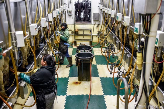 Workers milk cows in the dairy parlor stanchions at K&K Dairy Farms on Thursday, April 9, 2020, in Westphalia. For the last few weeks of the coronavirus pandemic, the farm has been losing $5 per 100 pounds of milk.