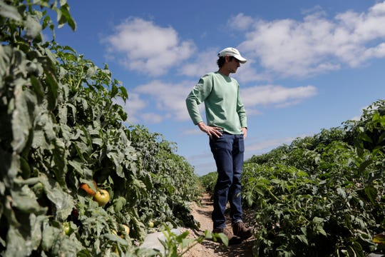 In this March 28, 2020, photo, DiMare farm manager Jim Husk walks among plants in a tomato field, in Homestead, Fla. Thousands of acres of fruits and vegetables grown in Florida are being plowed over or left to rot because farmers can't sell to restaurants, theme parks or schools nationwide that have closed because of the coronavirus.