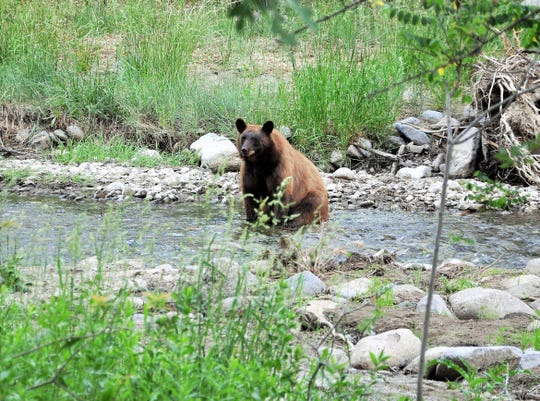 A honey-colored black bear catches a small trout in the Rio Ruidoso.