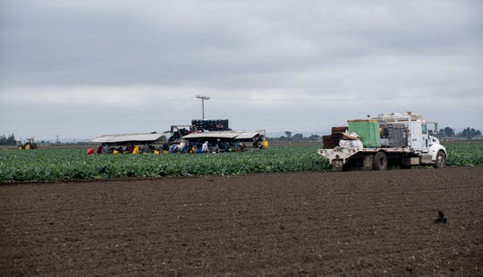Fieldworkers pick broccoli from the ground on a cloudy morning on April 8, 2020.