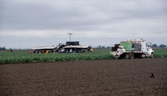Trabajadores agrícola recogen brócoli una mañana nublada el 8 de abril 2020.
