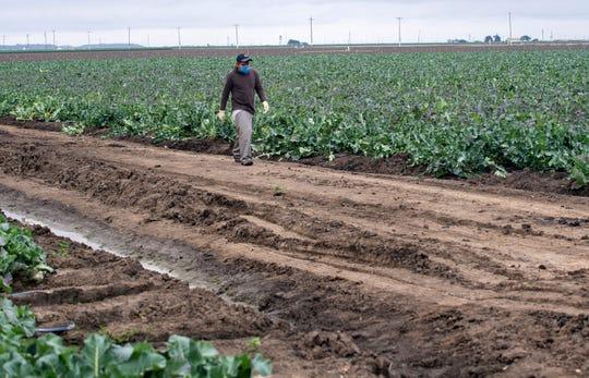 A fieldworker walks passed a field of broccoli as he takes a restroom break on April 8, 2020.
