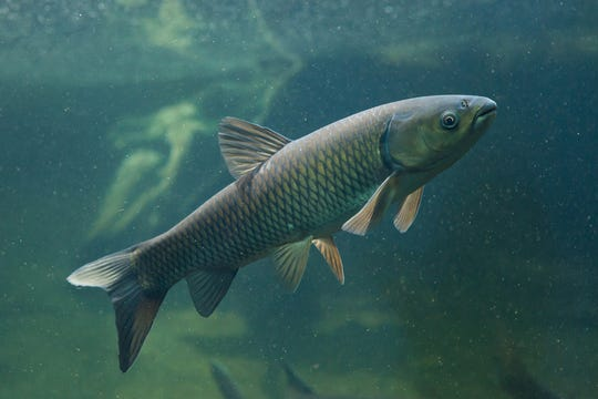 Grass carp (Ctenopharyngodon idella)