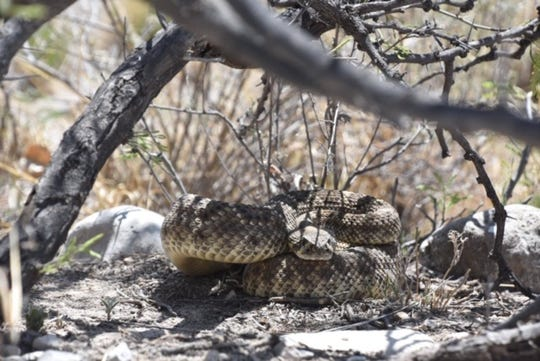 A rattle snake under a tree. Las Cruces police and fire department warn the community to be aware of snakes as the weather gets warmer.