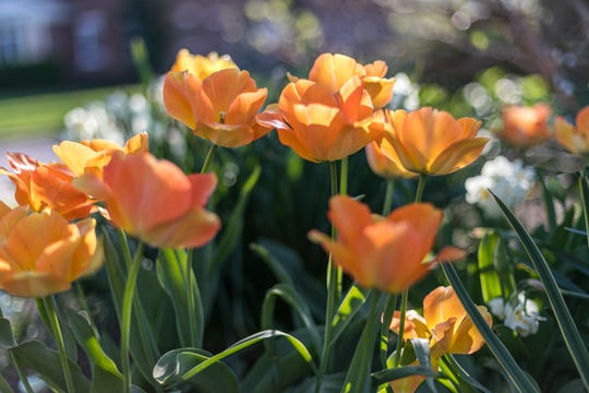 Tulips come in a riot of colors and can introduce powerful pops of color anywhere in the yard.