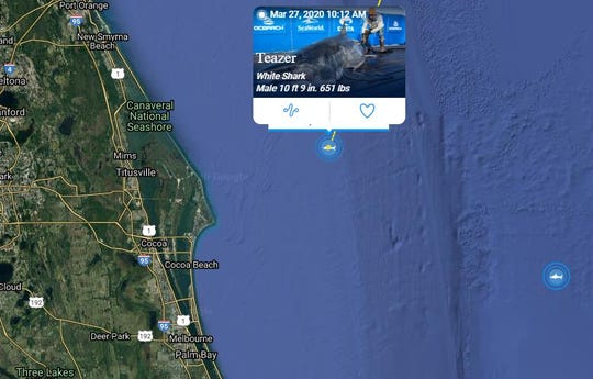 Teazer, a white shark weighing 651 pounds and measuring 10 feet, 9 inches, pinged off the coast of Canaveral National Seashore on March 27, 2020. Great white shark Unama'ki, which weighs 2,076 pounds, pinged off the coast of Melbourne on April 13, 2020.
