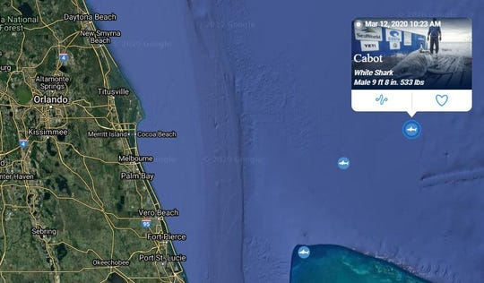 Cabot, a 533-pound white shark, pinged off the coast of Cocoa Beach on March 12, 2020.