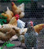 Chickens and roosters are seen at the home of Hattie Purtell in River Hills.