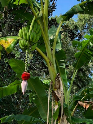 A banana plant developing fruit.