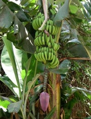Bananas are not freeze-tolerant, so a mild North Florida winter is necessary for fruiting. Bananas are not freeze-tolerant, so a mild North Florida winter is necessary for fruiting.
