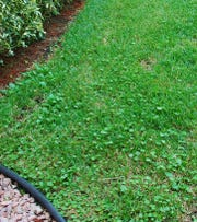 Dollarweed is a usually a problem plant in stressed and poorly irrigated lawns; irrigate and mow properly to control this weed.