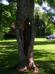 Tree decay, in advanced stages, can cause cavities where wood is missing.