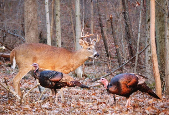 New hunters in New York state who want to hurt turkeys this spring and deer in the fall can now take their hunter safety courses online, after in-person courses were canceled by the COVID-19 pandemic.