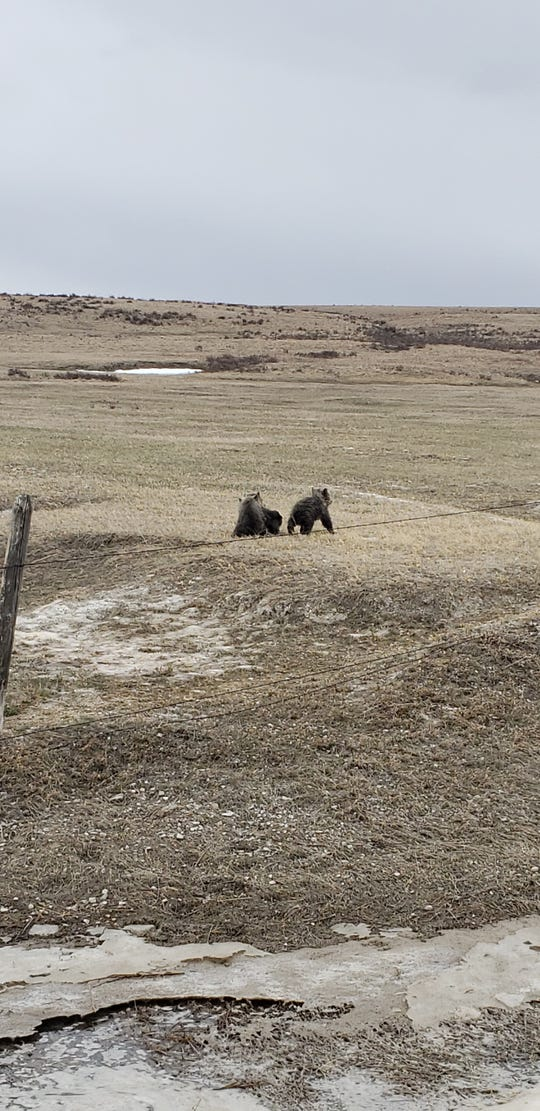 Grizzly cubs wander on the plain west of Dupuyer, Montana