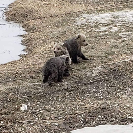 Photo of three grizzly bear cubs at play, moments before their rescue by the Briggs family of Dupuyer