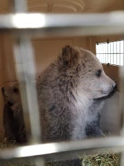 One of the grizzly cubs in a cage after FWP officials took possession of the cubs Friday evening