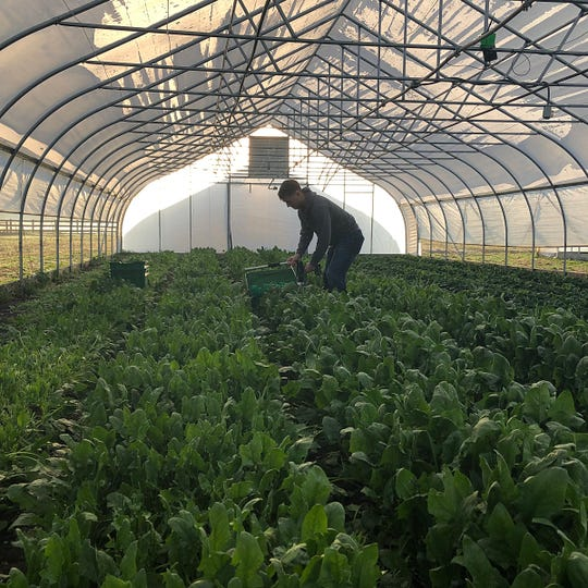 A Purdue University student harvests green vegetables at Purdue Student Farm.