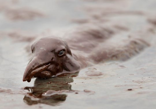 A sea bird is mired in oil on the beach at East Grand Terre Island along the Louisiana coast on June 3, 2010.