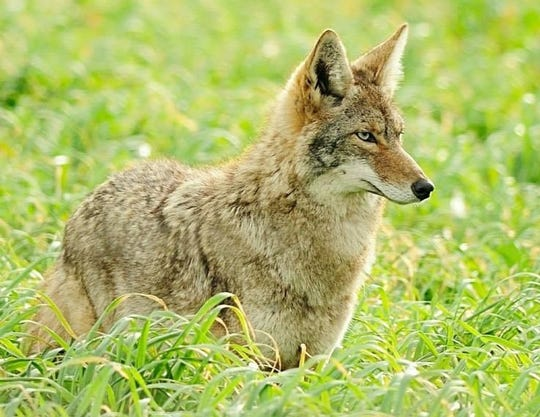 While they can be a nuisance if humans don't take certain precautions, coyotes like this one help control rodent populations in California.
