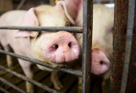 Hogs are kept in a barn and ready to be sold on Tuesday, April 14, 2020 at Prestige Pork in Inwood, Iowa.